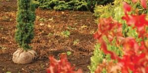 conifeer-taxus-planten-1