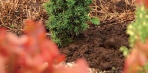 conifeer-taxus-planten-8