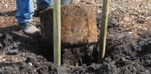 volwassen-boom-planten-4