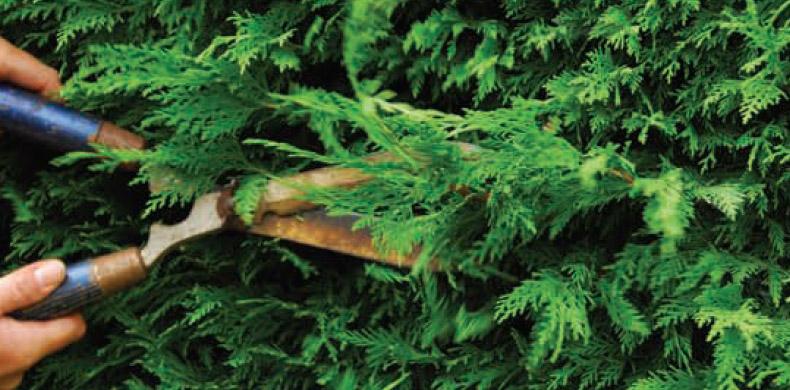 conifeerhaag snoeien | boomkwekerij van leersum