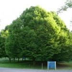 carpinus-betulus
