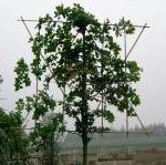 carpinus-betulus-leivorm