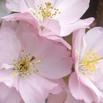 prunus-accolade-1