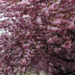 prunus-accolade-2
