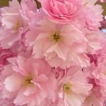 prunus-autumnalis-rosea