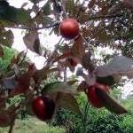 prunus-cericifera-1