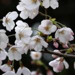 prunus-yedoensis-wit