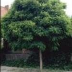 robinia-umbraculifera