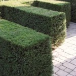 taxus-baccata-2